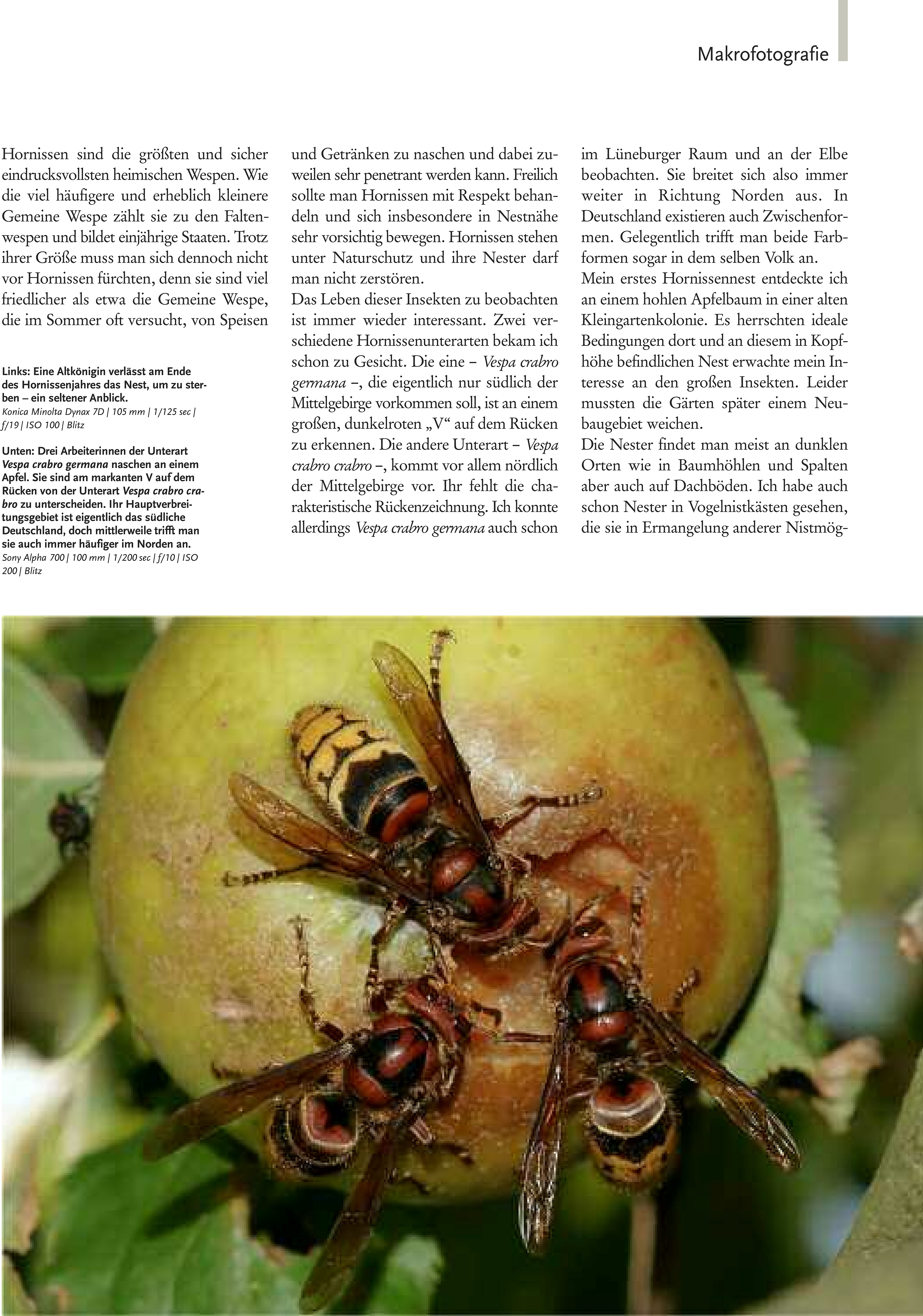 46-51 Haase Hornissen(2) Zeitschrift Natur-1