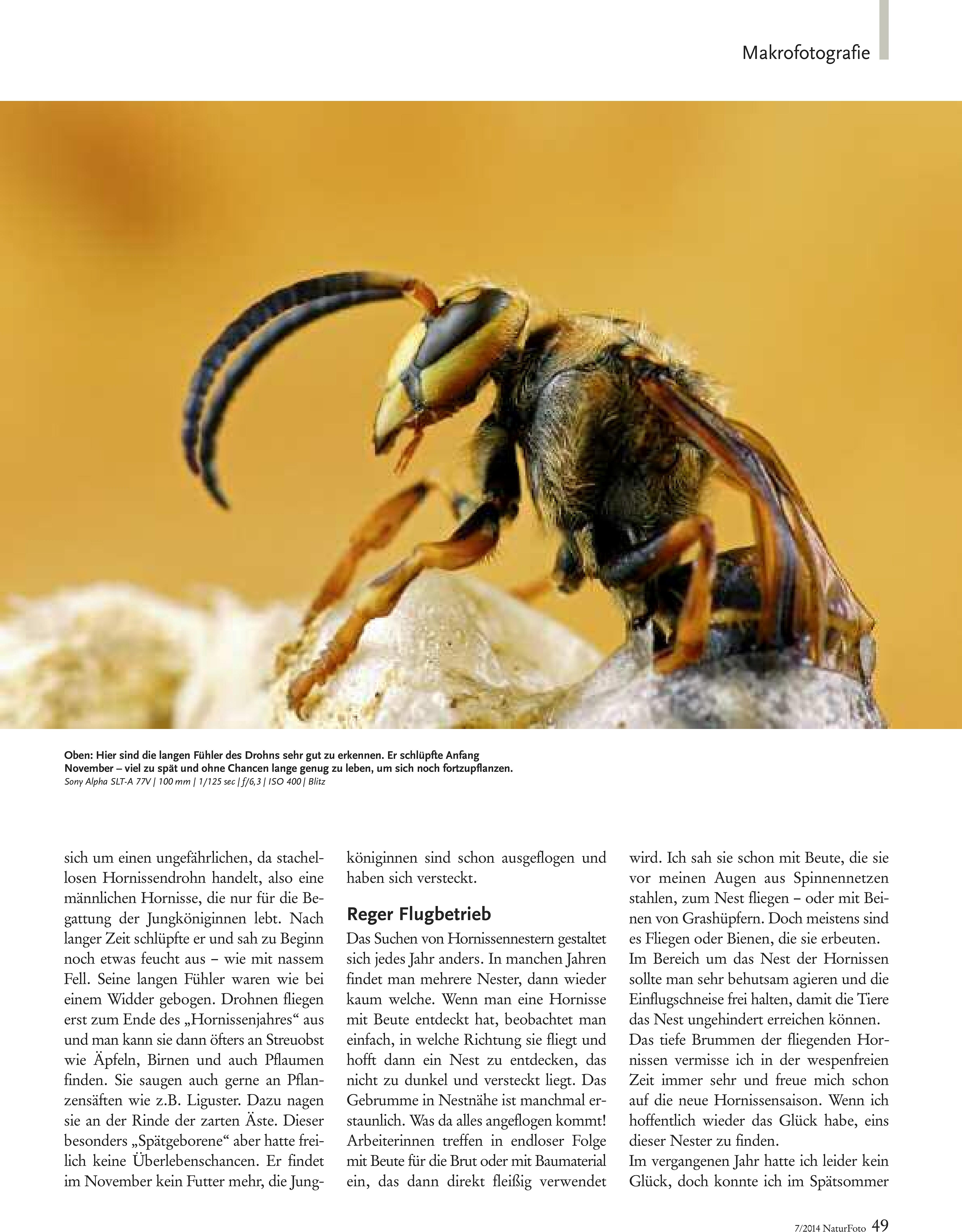 46-51 Haase Hornissen(2) Zeitschrift Natur-3