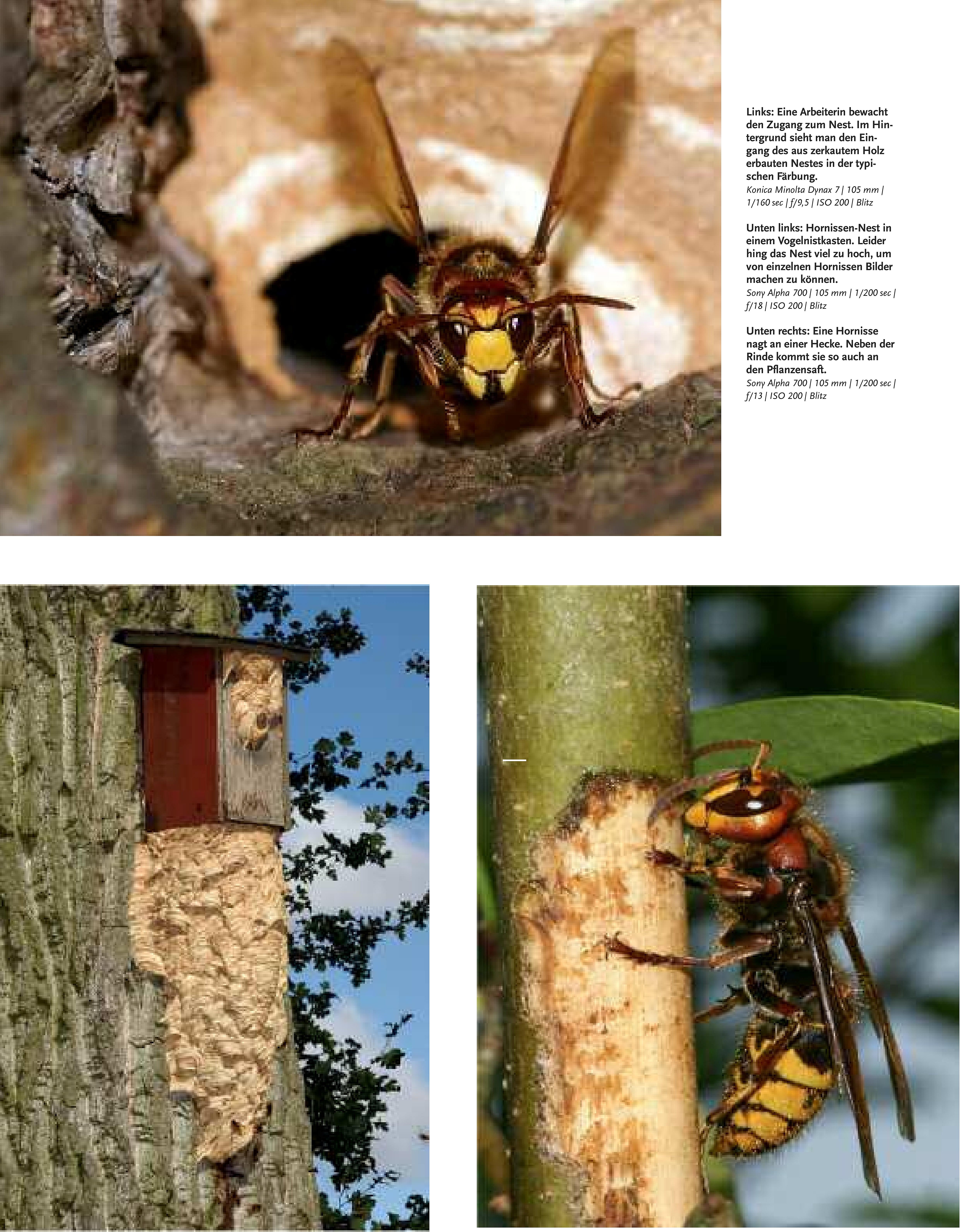 46-51 Haase Hornissen(2) Zeitschrift Natur-4