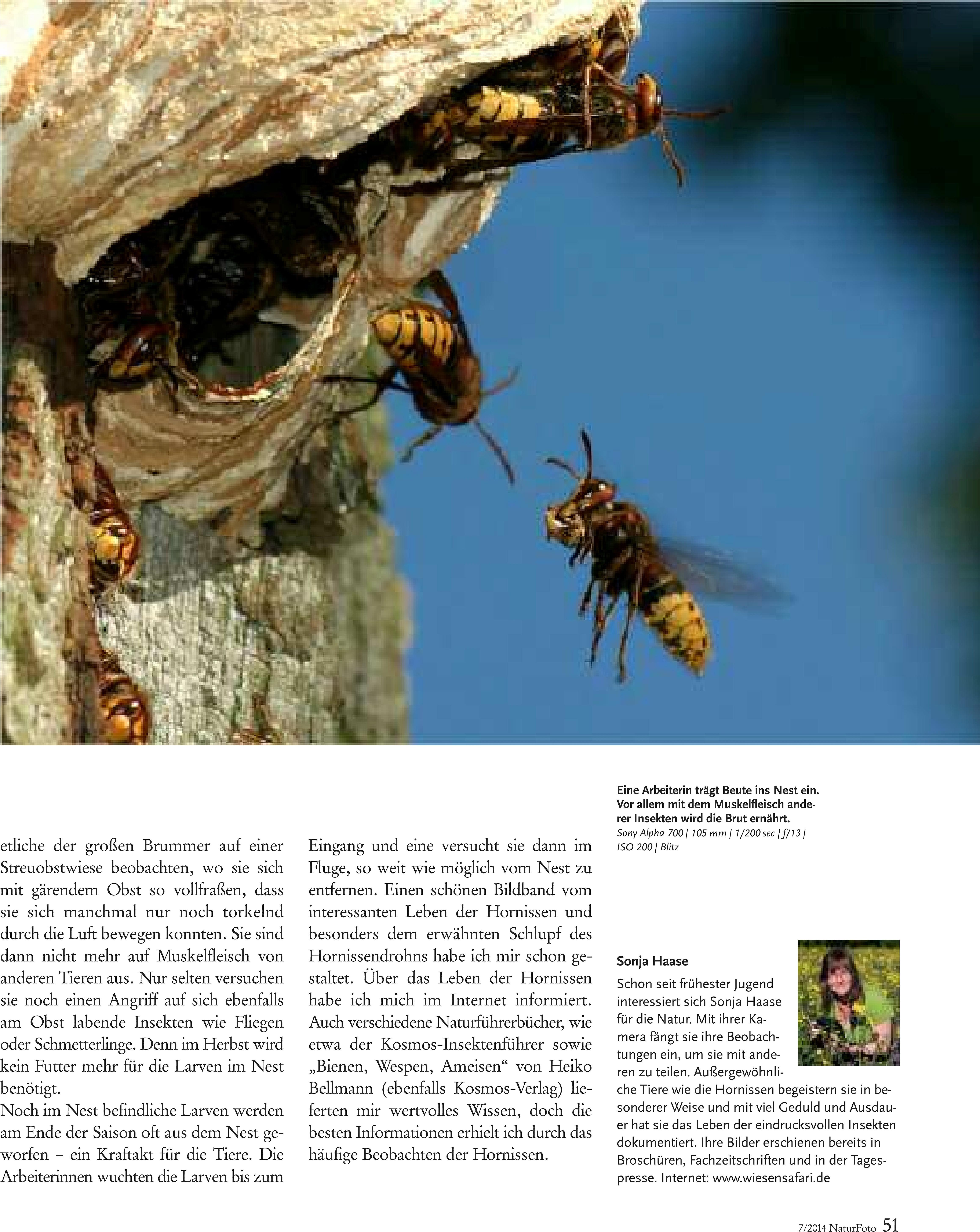 46-51 Haase Hornissen(2) Zeitschrift Natur-5