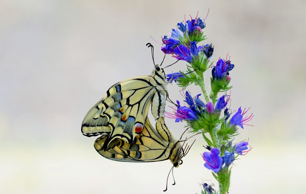 Der Schwalbenschwanz (Papilio machaon) ist ein Schmetterling aus der Familie der Ritterfalter (Papilionidae).